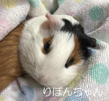 リボンちゃん モルモット