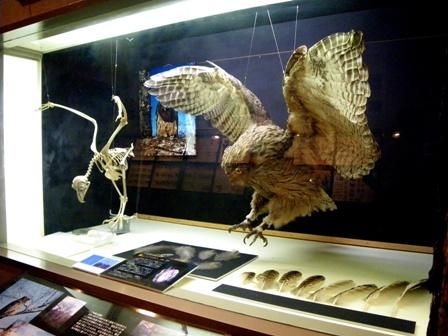 シマフクロウ標本