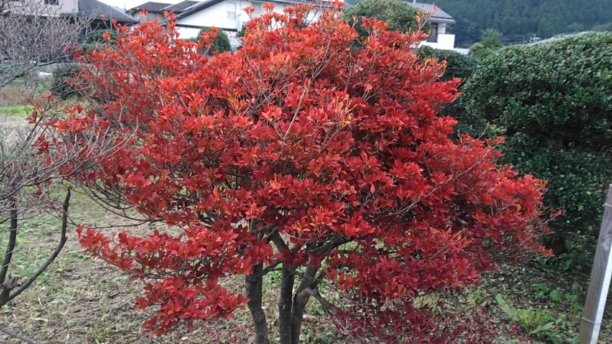 ドウダンツヅジ紅葉