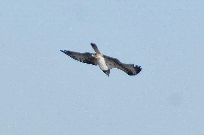 201211251-ミサゴの漁ー