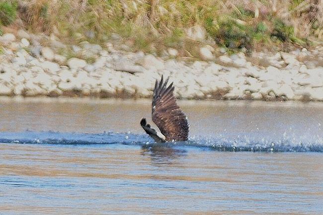 201211251-ミサゴの漁-2ー