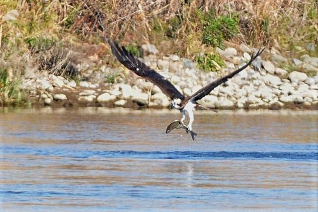 201211251-ミサゴの漁-3ー