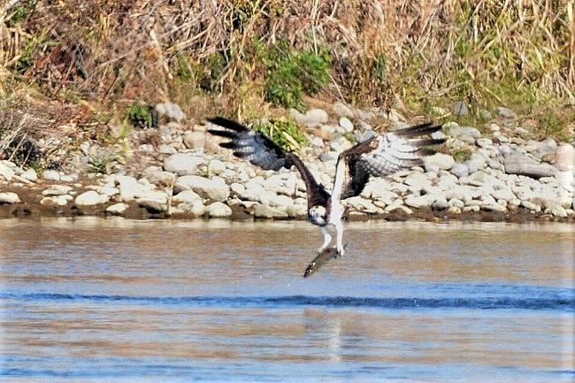 201211251-ミサゴの漁-4ー