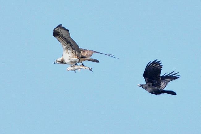 201211251-ミサゴの漁-5ー