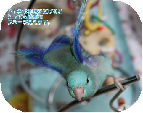 ④羽根はブルー