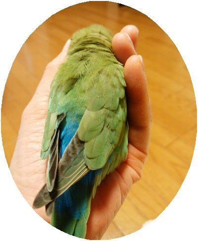 菊池様の愛鳥②