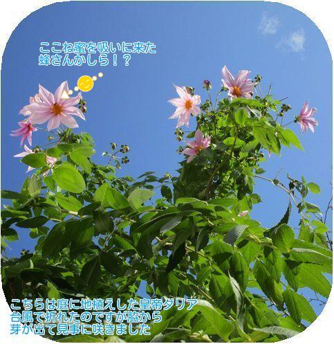 ⑤庭の皇帝ダリア