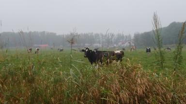 付近の牧場に佇む牛たち