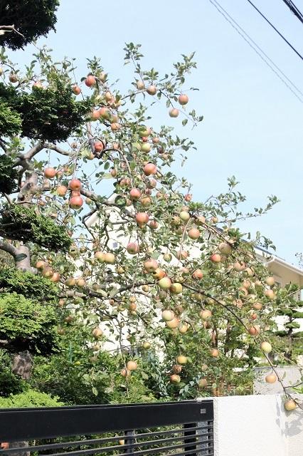 たわわに実るリンゴ