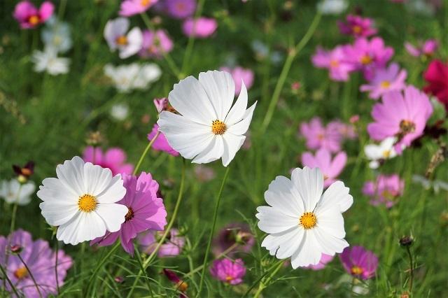 白花のコスモス