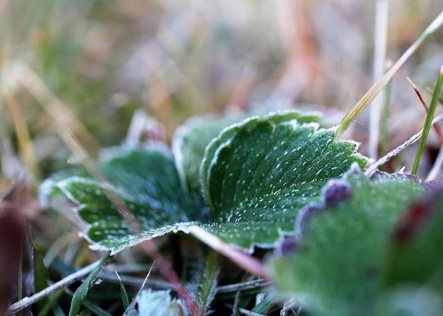 イチゴ苗の霜