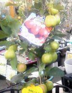 りんご・長寿紅b