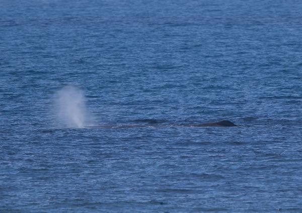 マッコウクジラ1
