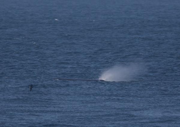 マッコウクジラ7