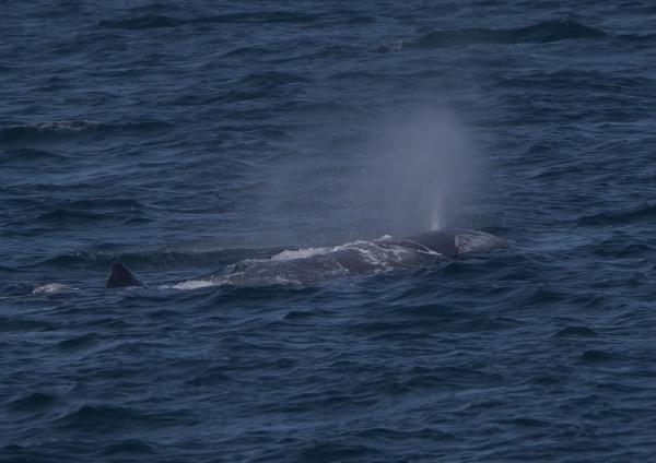 マッコウクジラ8