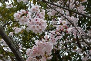 吉浦八幡神社の桜