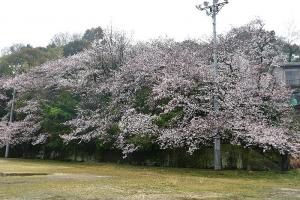吉浦第二町民グラウンドの桜