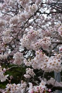 吉浦町民第二グラウンドの桜