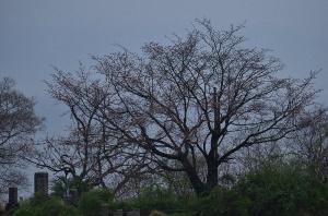 一つ向こうの尾根に咲く桜