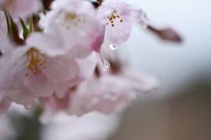 桜の花と水滴