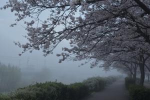霧の中の桜並木