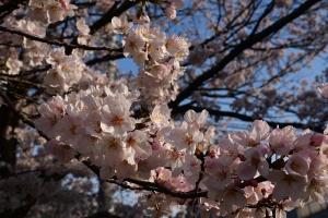 朝日と桜の花