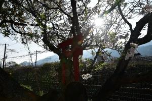 桜の木と朝日