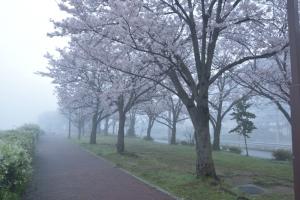 桜の咲く公園