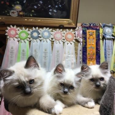 幸運を運ぶ猫⭐︎バーマン子猫 2017年 夏生まれ