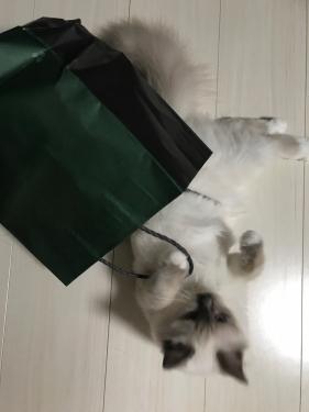 幸運を運ぶバーマン子猫 – チャズちゃん –