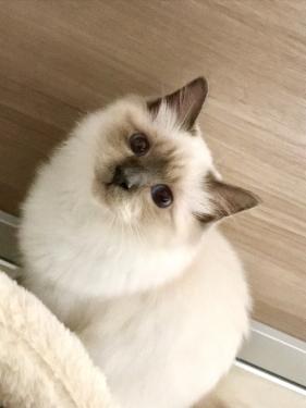幸運を運ぶバーマン子猫 – チャズちゃん -