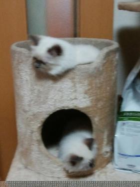 幸運を運ぶ⭐︎バーマン子猫 - シズク & シオンちゃん -