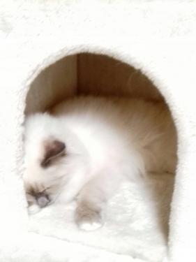幸運を運ぶバーマン子猫 – シズク & シオンちゃん -