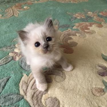 幸運を運ぶバーマン子猫✨里親募集中