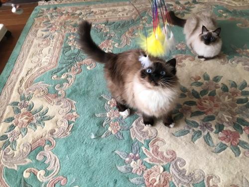 ペットフェア 猫ジャラシ
