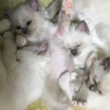 幸運を運ぶバーマン子猫🌟お団子の子猫達