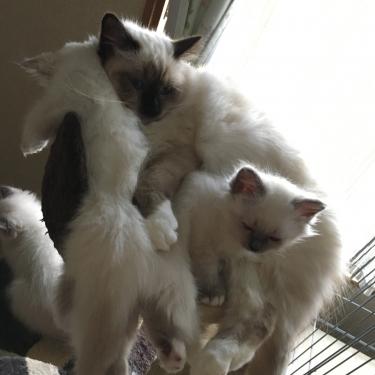 幸運を運ぶバーマン子猫 - 満員御礼 -