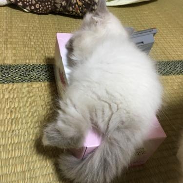 ティッシュBoxの妖精 バーマン子猫