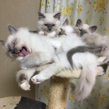 幸運を運ぶバーマン子猫 2017