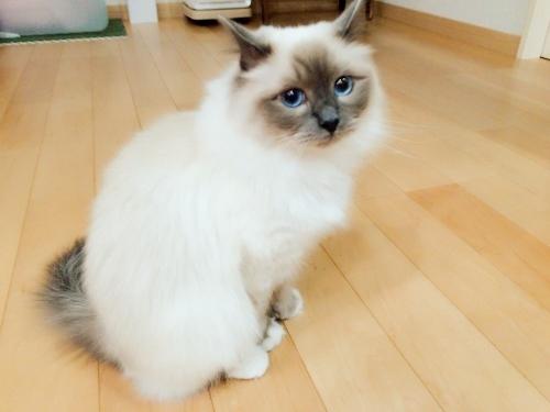 幸運を運ぶバーマン子猫 ー小福ちゃんー
