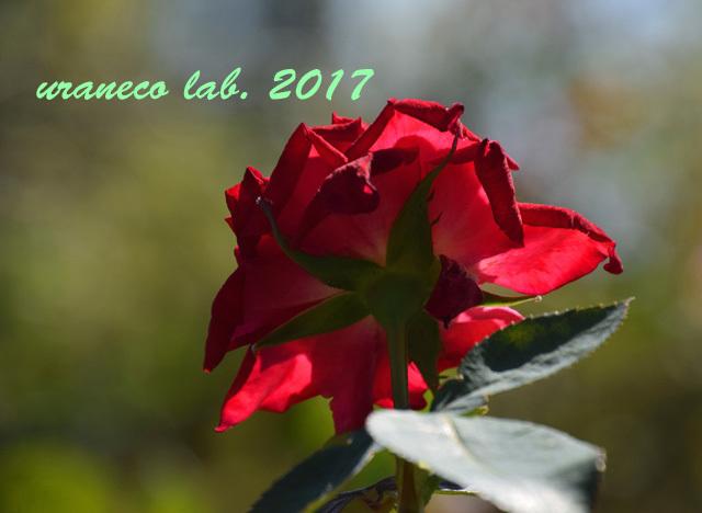 10月1日薔薇の後ろ姿
