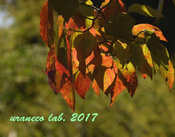 10月3日ハナミズキ紅葉