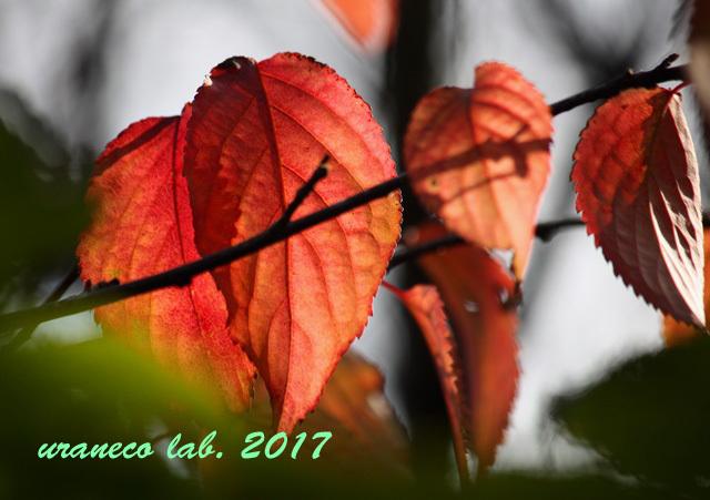 10月14日桜紅葉