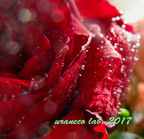 10月14日薔薇の雫4