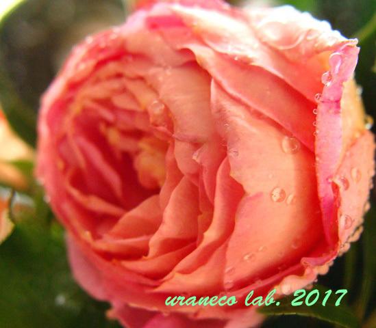 10月14日薔薇の雫3