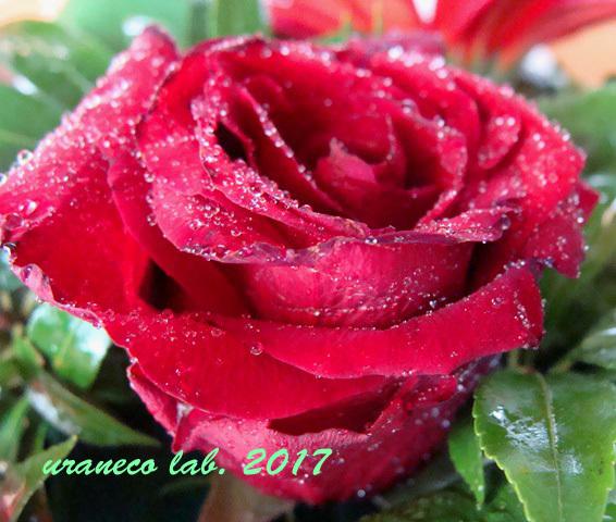 10月14日薔薇の雫2