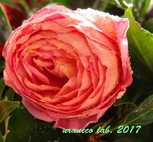 10月14日薔薇の雫