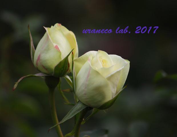 11月6日winter roses6