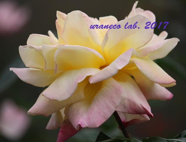 11月6日winter roses4