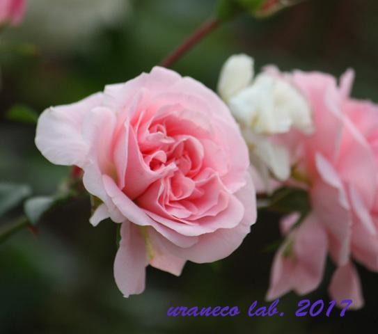 11月6日winter roses5